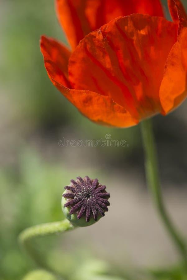Close-up das pétalas da papoila, macro Botões no primeiro plano Vermelho é a cor prevalecer fotos de stock royalty free