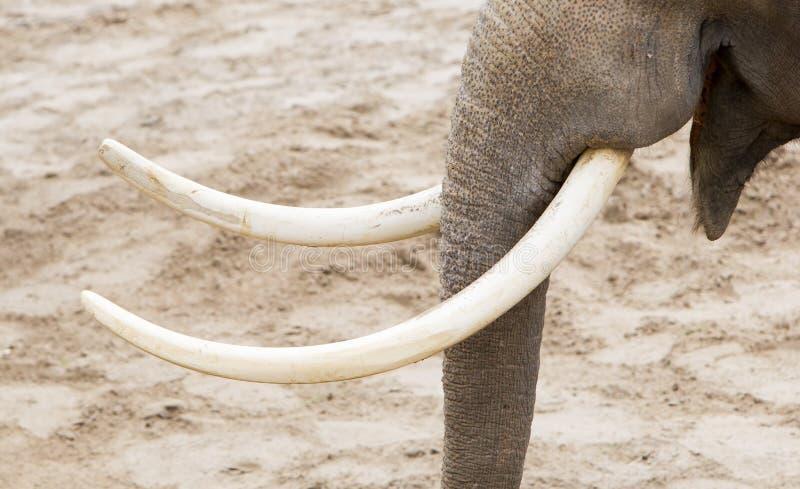 Close-up das presas do elefante asiático (maximus do Elephas) foto de stock