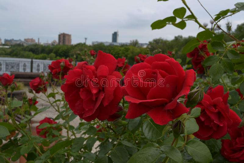 Close-up das rosas vermelhas com as folhas verdes no parque da cidade imagens de stock