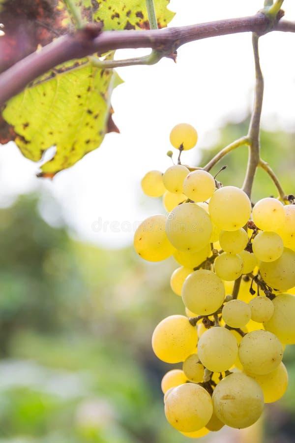 Close up das uvas contra o fundo obscuro foto de stock