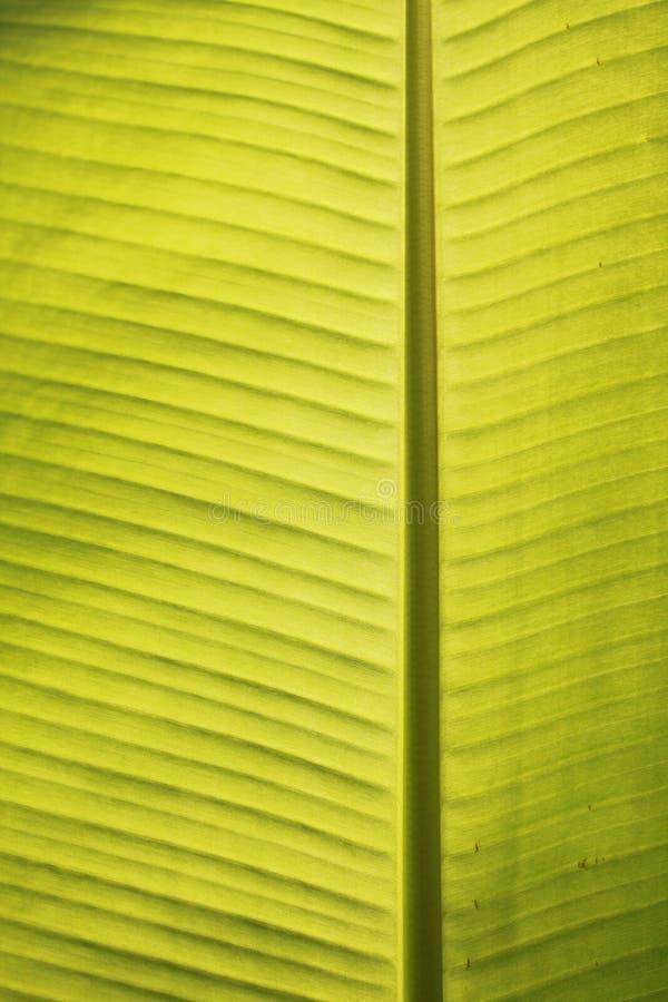Close up das veias da folha da banana no sol tropical do meio-dia imagens de stock royalty free