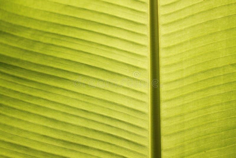 Close up das veias da folha da banana no sol tropical do meio-dia fotos de stock royalty free
