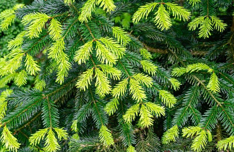 Close-up de agulhas novas brilhantes bonitas em escuro - os ramos verdes do abeto da árvore conífera Abies o nordmanniana foto de stock royalty free