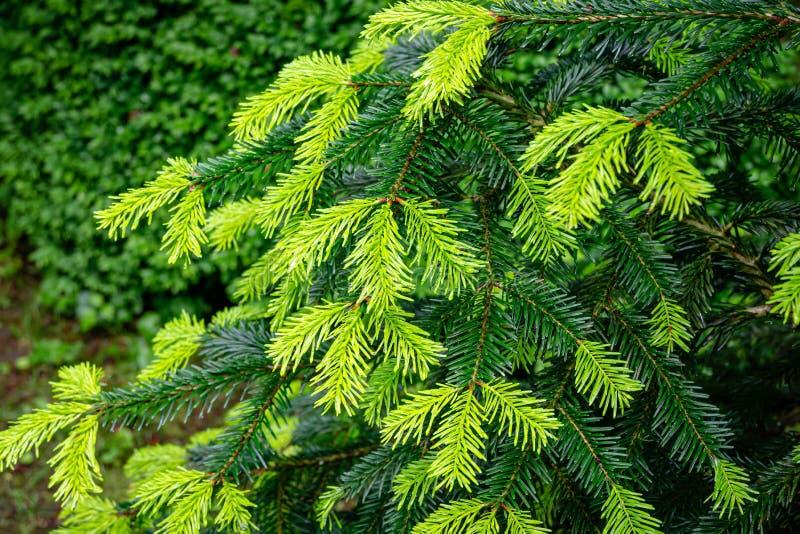 Close-up de agulhas novas brilhantes bonitas em escuro - os ramos verdes do abeto da árvore conífera Abies o nordmanniana imagem de stock royalty free