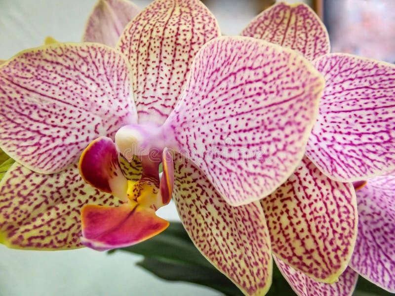 Close up de amarelo, de vermelho, o rosa e o branco listrado com a flor da orquídea dos pontos imagem de stock