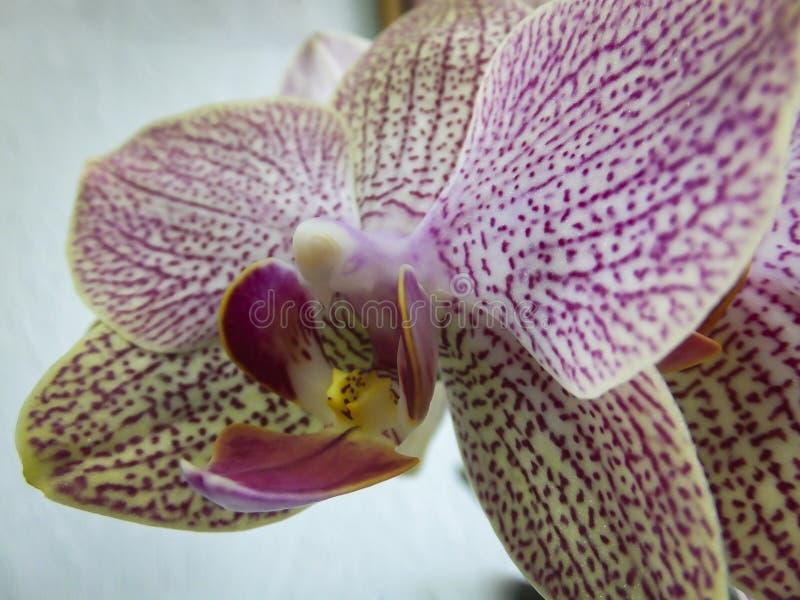 Close up de amarelo, de vermelho, o rosa e o branco listrado com a flor da orquídea dos pontos fotografia de stock