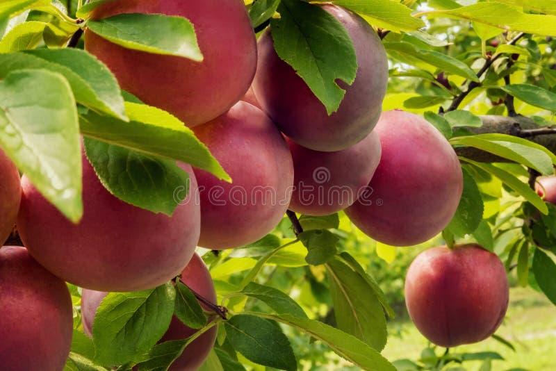Close-up de ameixas maduras no jardim orgânico do pomar fotos de stock