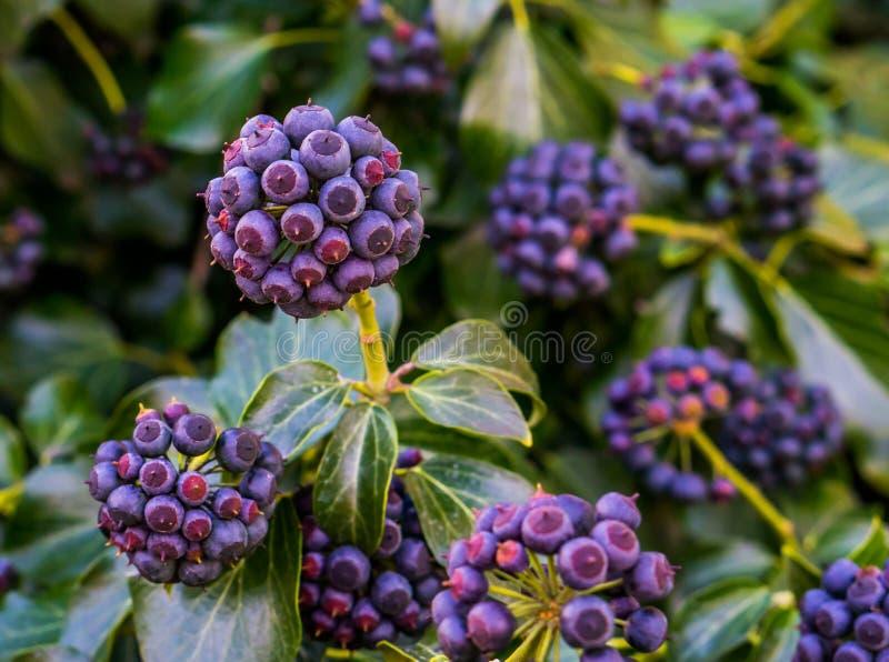 Close up de bagas da hera nas cores roxas e azuis, planta frutificando com folhas verdes, fundo natural imagens de stock