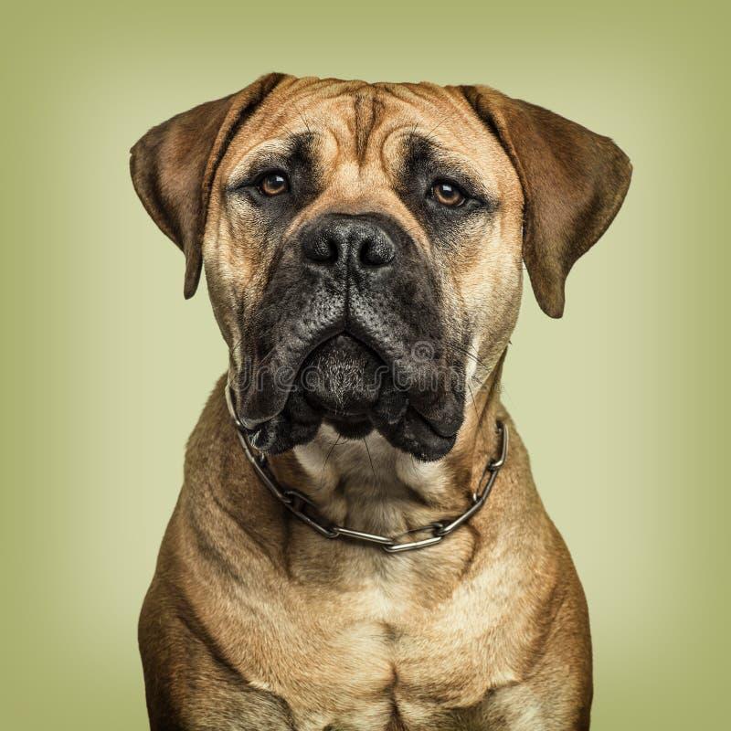 Close-up de Bullmastiff que olha à câmera contra o backgrou verde fotos de stock