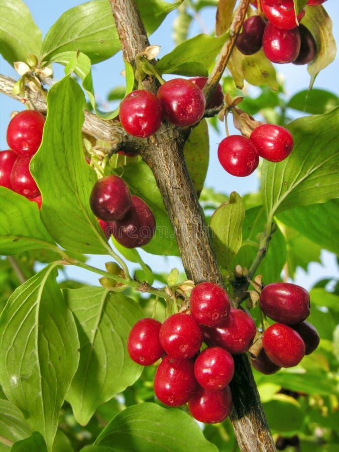 Close-up de cerejas de cornalina vermelhas maduras imagens de stock