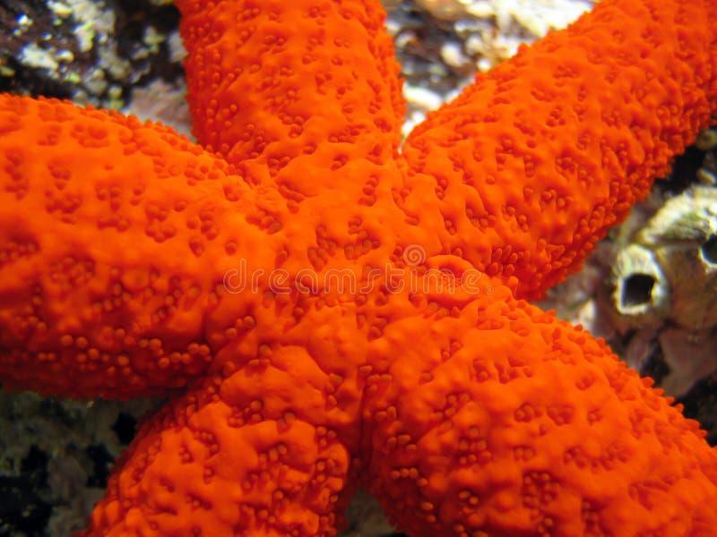 Close-up de cinco starfish do ponto foto de stock