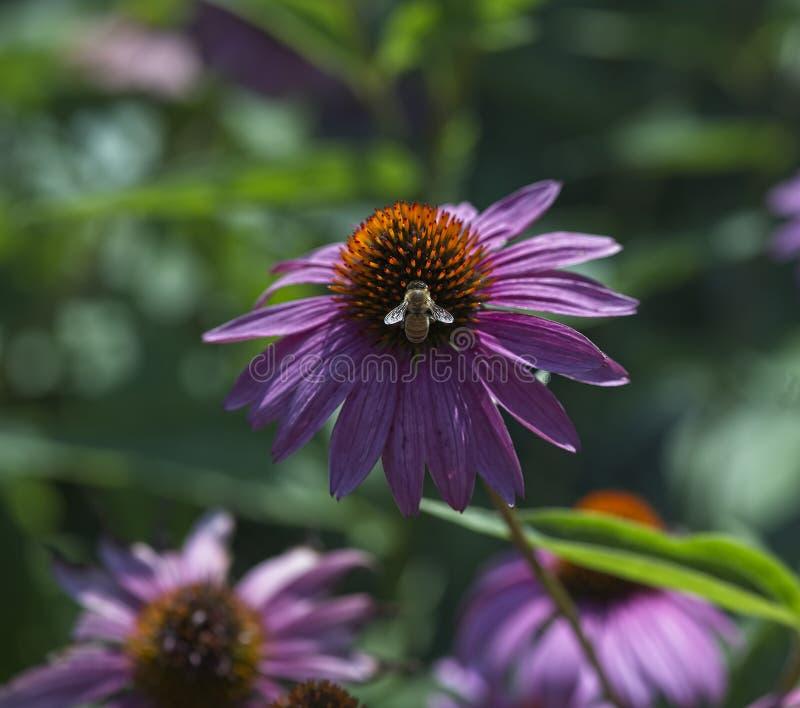Close up de Coneflower roxo com abelha foto de stock