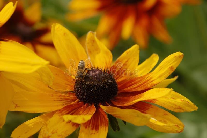 Close-up de Daisy Flower e de uma abelha fotografia de stock royalty free