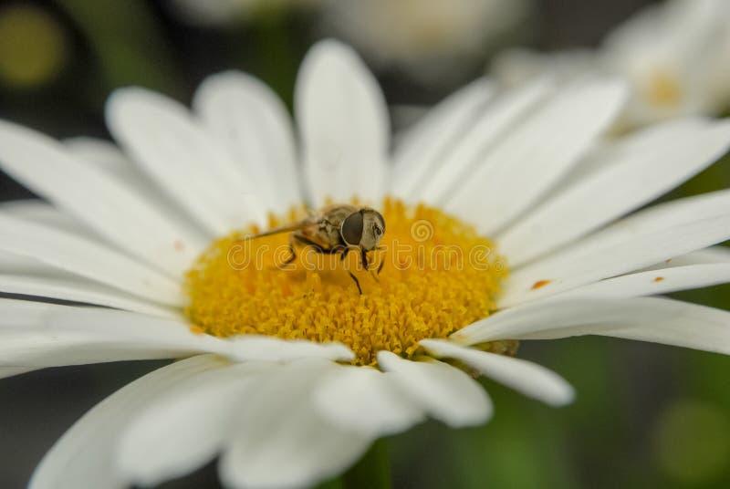 Close-up de Daisy Flower e de uma abelha imagem de stock