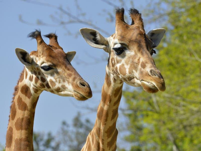 Close up de dois girafas imagens de stock royalty free