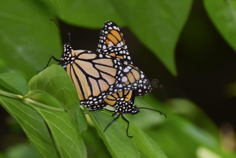 Close-up de dois Matings das borboletas imagem de stock
