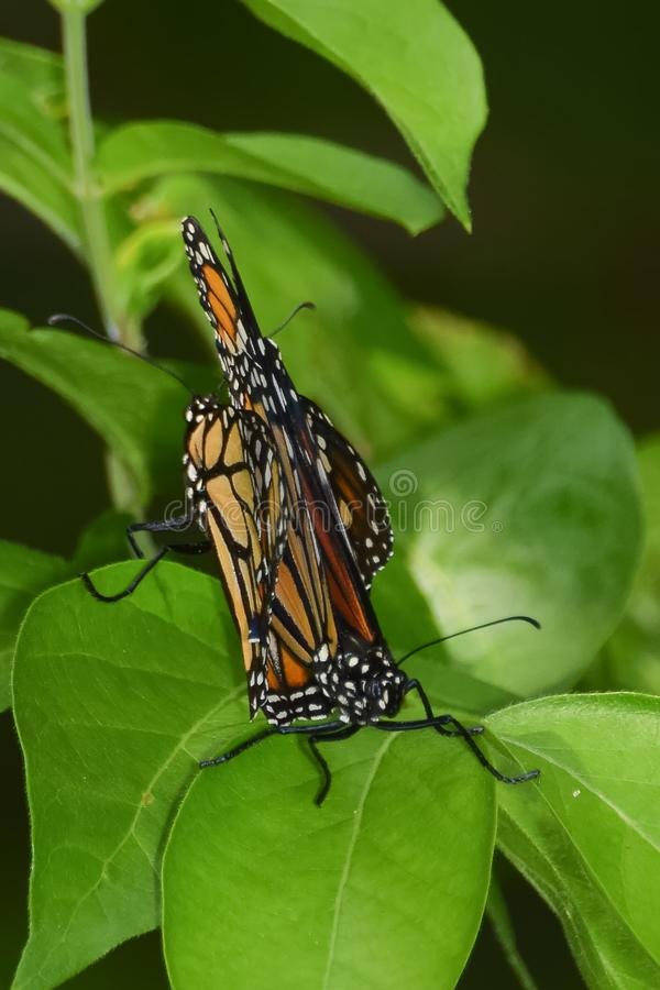 Close-up de dois Matings das borboletas foto de stock royalty free