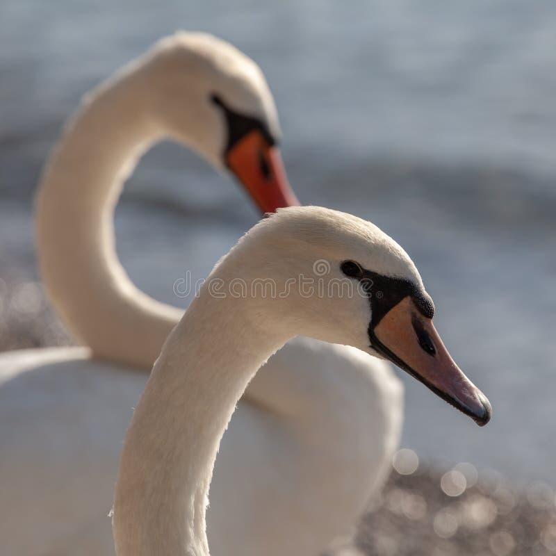 Close up de duas cisnes foto de stock
