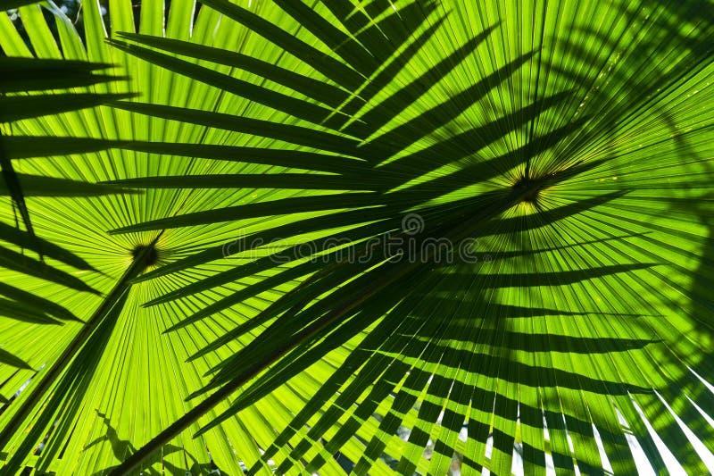 Close up de duas folhas verdes grandes do palma fotografia de stock royalty free