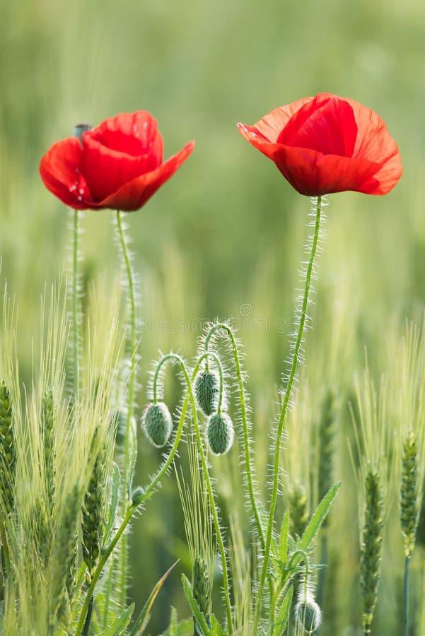 Close up de duas papoilas vermelhas bonitas em um campo do verde do trigo no verão imagens de stock royalty free