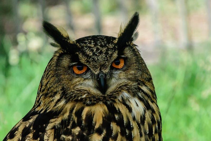 Close-up de Eagle Owl euro-asiático fotos de stock royalty free