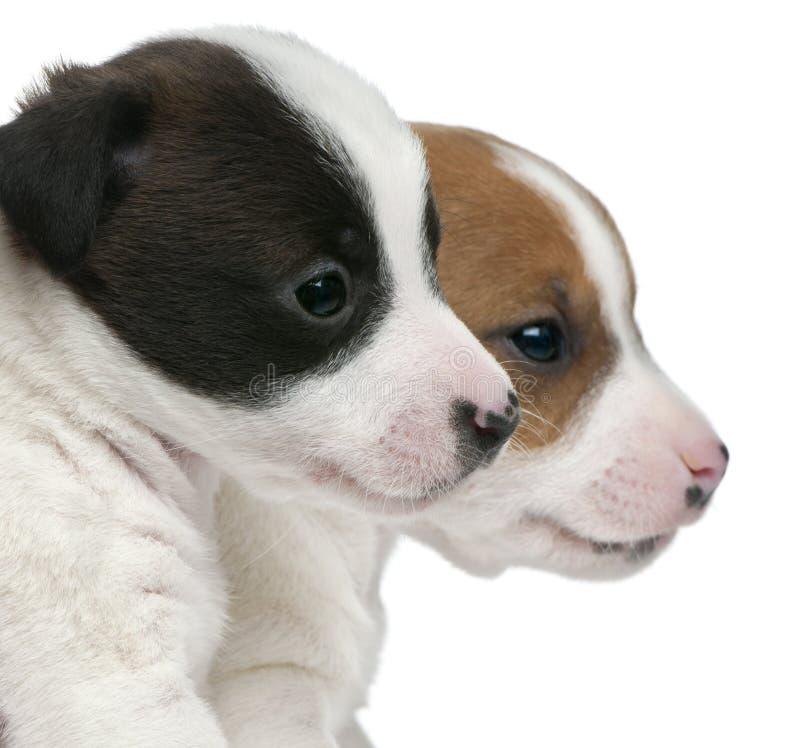 Close-up de filhotes de cachorro do terrier de Jack Russell foto de stock