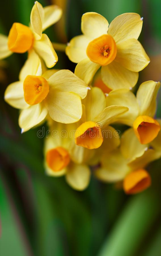 Close up de flores amarelas grupo-florescidas do narciso imagem de stock royalty free