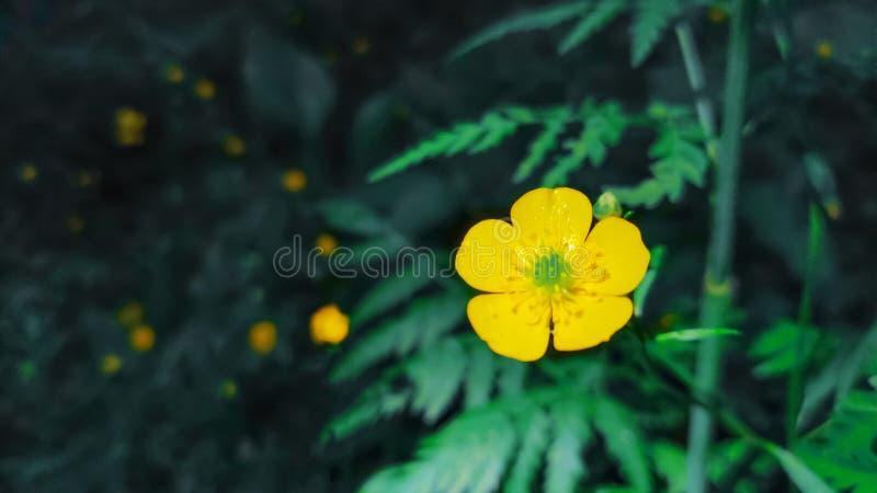Close up de flores amarelas de um botão de ouro comum na floresta no fundo da grama verde Botão de ouro de prado do acris do ranú foto de stock royalty free