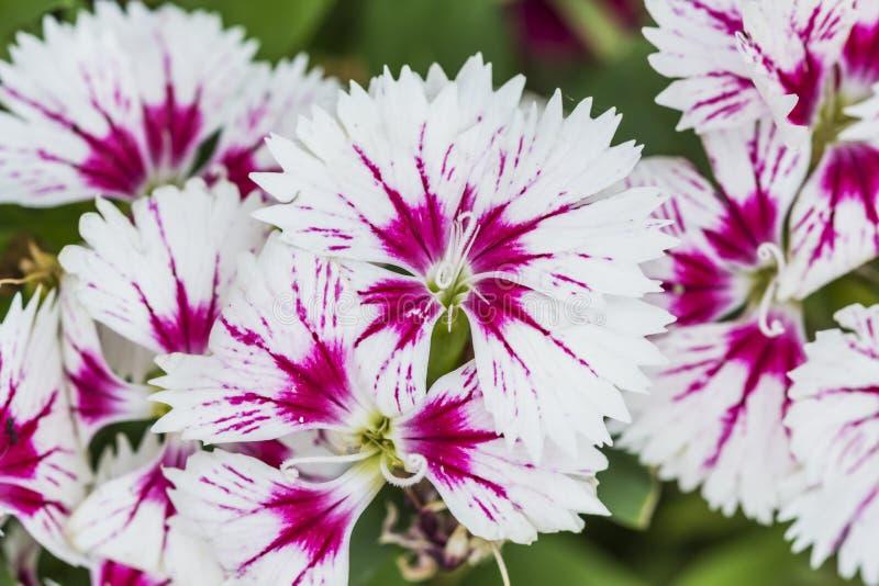 Close up de flores Chinensis do cravo-da-?ndia cor-de-rosa imagens de stock