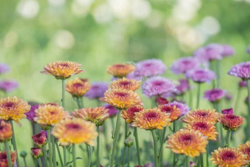 close-up de flores cor-de-rosa com macio-foco na luz do sol imagens de stock