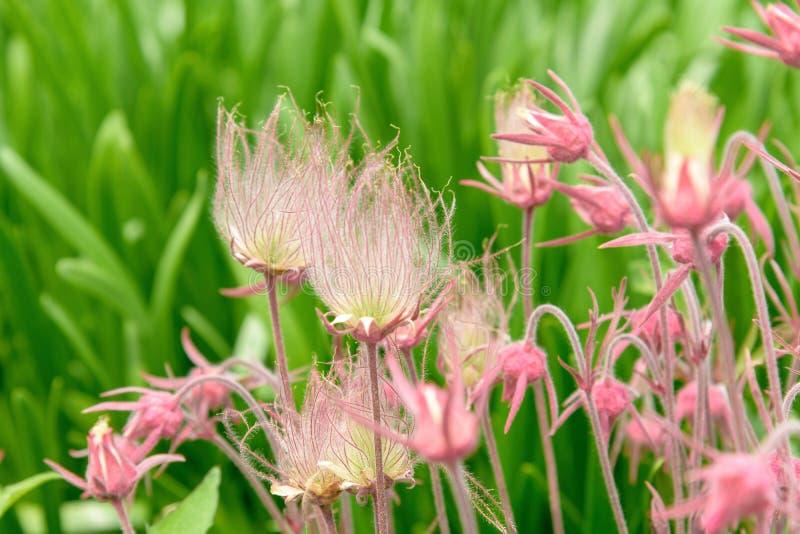 Close up de flores cor-de-rosa bonitas no fundo verde natural fotografia de stock