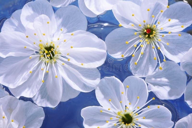 Download Close-up De Flores Da Cereja Imagem de Stock - Imagem de estame, branco: 12808527