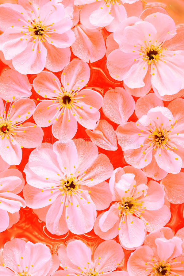 Download Close-up De Flores Da Cereja Imagem de Stock - Imagem de fundo, vermelho: 12808569