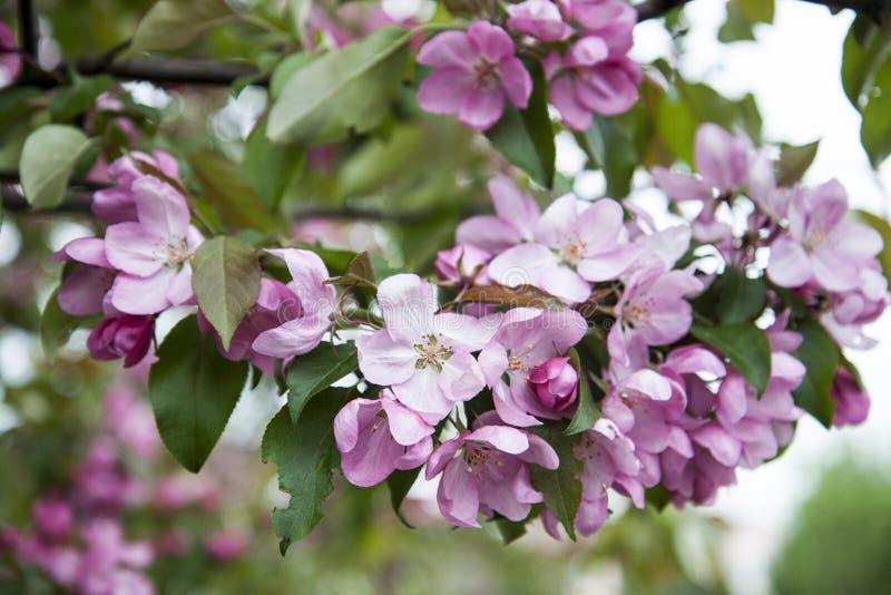Close-up de flores da ?rvore de ma?? Ramo cor-de-rosa luxúria das Apple-flores na mola fotografia de stock royalty free
