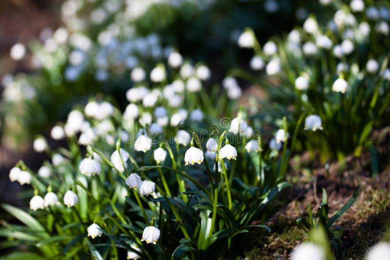 Close up de flores de florescência do snowdrop fotos de stock royalty free