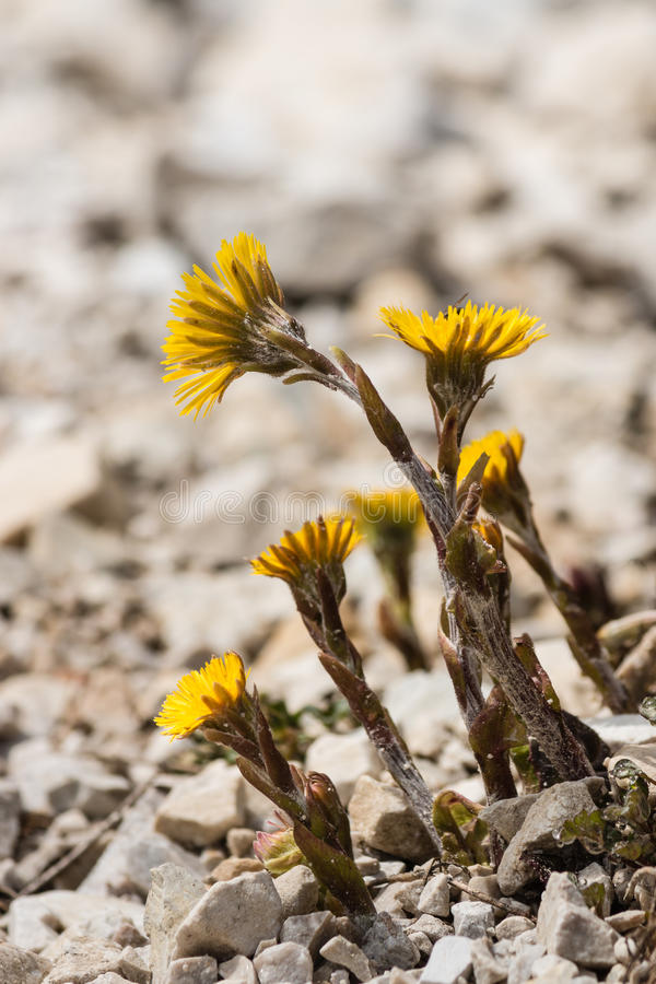 Close up de flores do coltsfoot imagem de stock royalty free