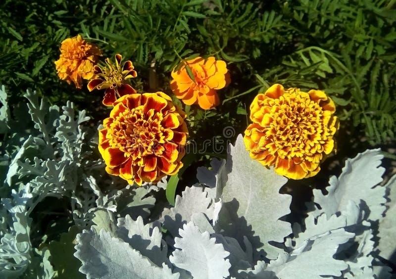 Close up de flores do cravo-de-defunto entre as folhas cinzentas e verdes foto de stock royalty free