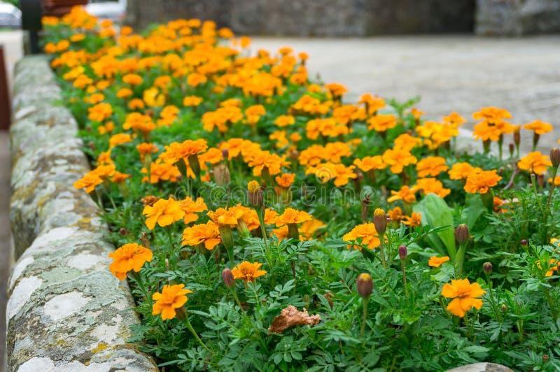 Close up de flores do cravo-de-defunto no canteiro de flores Decoração urbana dos lugares imagem de stock