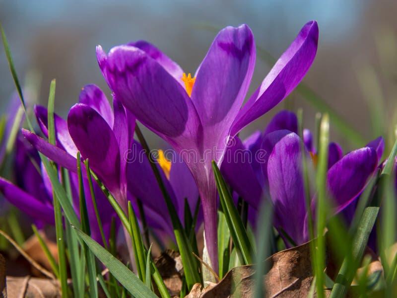 Close-up de flores roxas do açafrão fotografia de stock royalty free