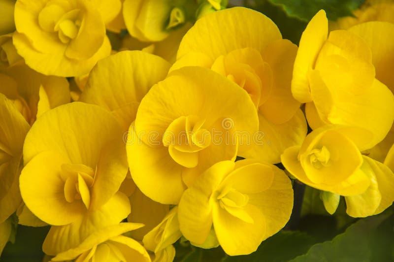 Close up de florescência amarelo da flor da begônia fotografia de stock