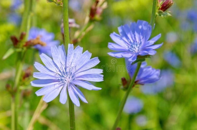 Close-up de florescência da chicória imagem de stock