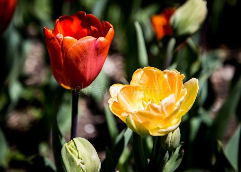 Close up de florescência do tulip fotos de stock royalty free