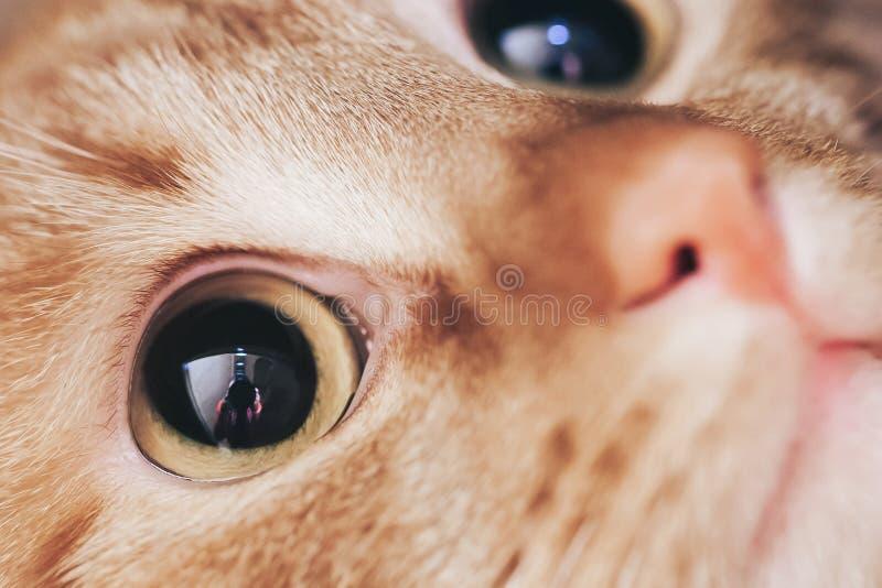 Close up de Ginger Hair Red Cat Muzzle fotos de stock royalty free