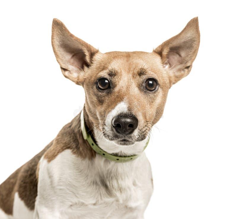 Close-up de Jack Russell Terrier, isolado no branco imagens de stock royalty free