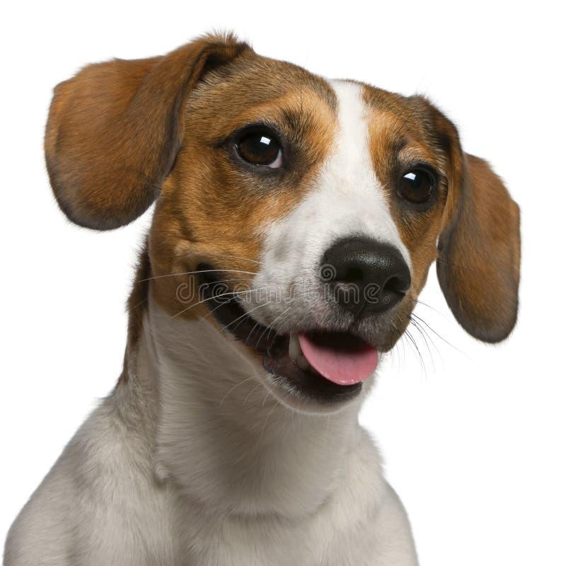 Close-up de Jack Russell Terrier, 11 meses velho imagens de stock royalty free