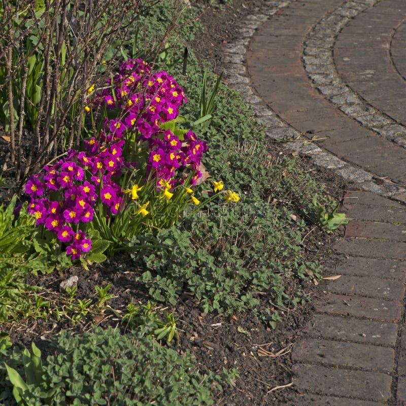 Close-up de juliana da prímula da prímula do jardim, jardins de Kew, sudoeste Londres, Inglaterra, Reino Unido fotografia de stock
