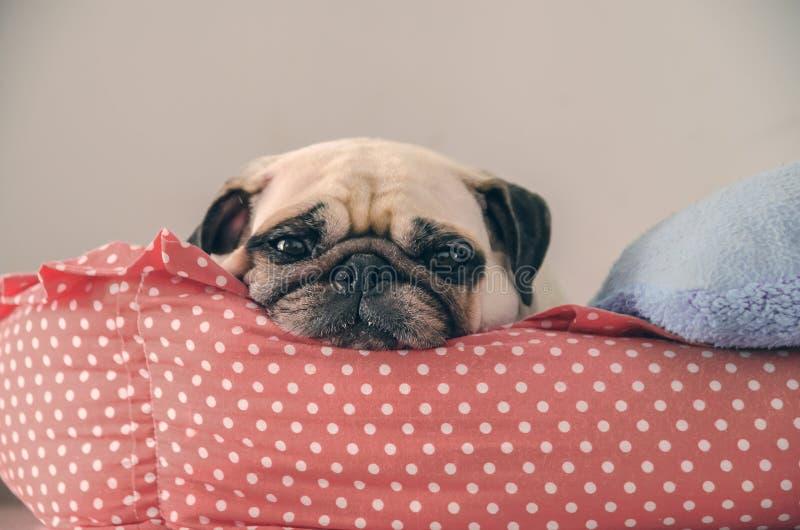 Close-up de leuke Pug slaap die van het hondpuppy op haar bed rusten en watchin royalty-vrije stock fotografie