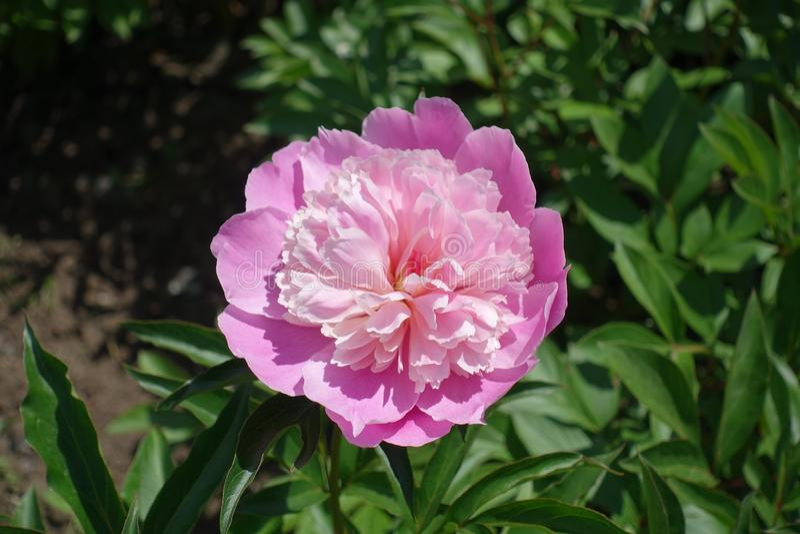Close up de pálido - flor dobro cor-de-rosa da peônia fotografia de stock