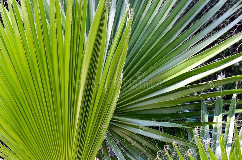 Close-up de palmeiras novas do moinho de vento em um jardim da exploração agrícola fotografia de stock