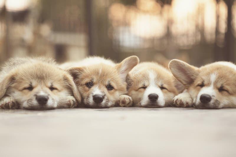 Close up de quatro bonitos, dos cachorrinhos bonitos do cão do corgi que encontram-se, do relaxamento e do sono imagens de stock royalty free